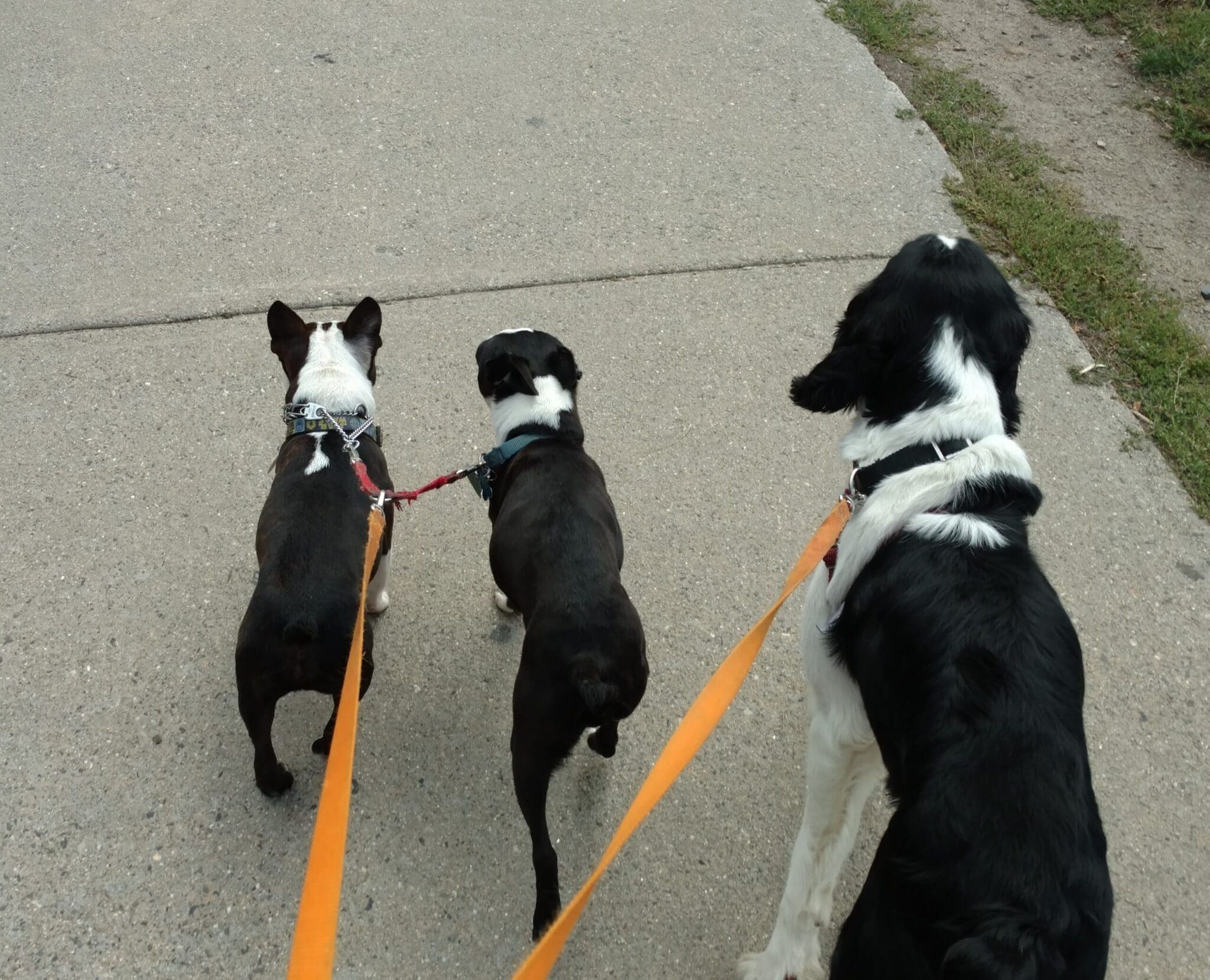 going for a dog walk with my professional dog walker