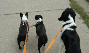 three black and white dogs walking on a leash