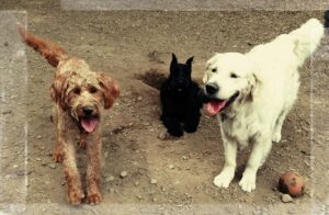 dog walking and pet sitting with doggie friends