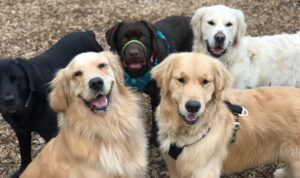 tired dogs are happy dogs at muddy paws dog walking and pet sitting