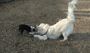 big and small dogs love muddy paws dog walking and pet sitting