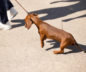 don't allow your dog to pull you forward or pull back. learn how to leash train your dog to walk properly on leash