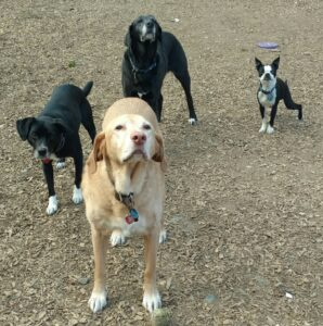 four dogs waiting for someone to throw the tennis ball