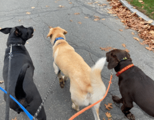 30 minute walks are the most popular dog walks at muddy paws dog walking and pet sitting because the dogs get to out on walks with other dogs