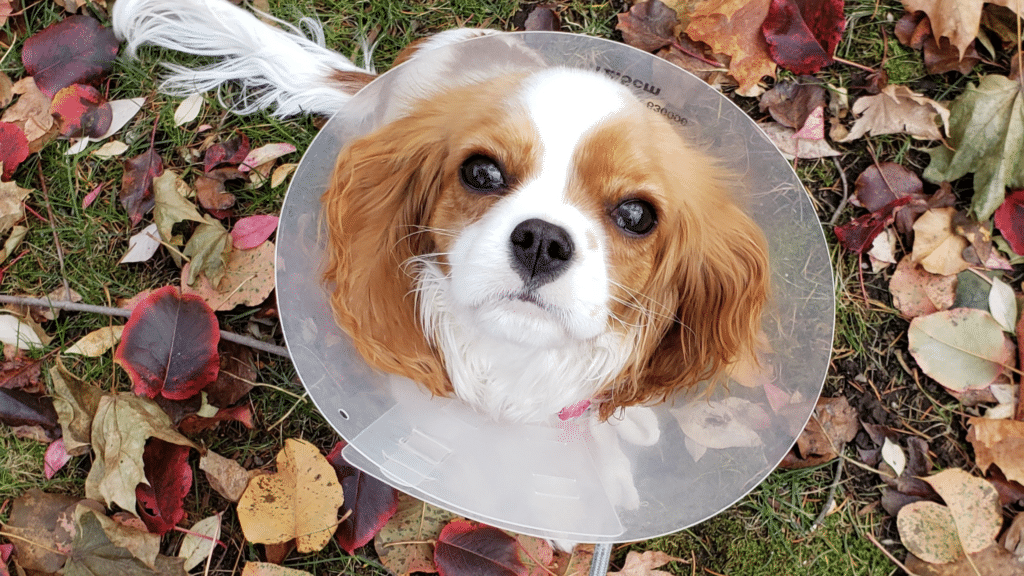 dogs recovering from surgery benefit from quick relief visits because they need to go out but are supposed to rest